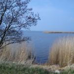 Schilfrohr am Balmer See
